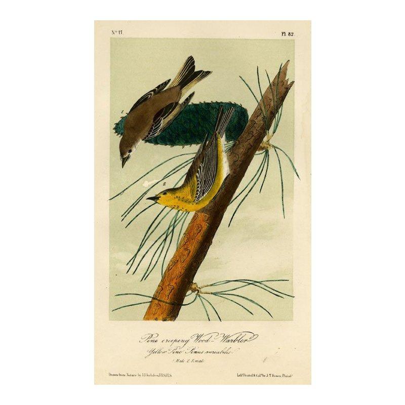 John James Audubon: Pine creeping Wood-Warbler 1871