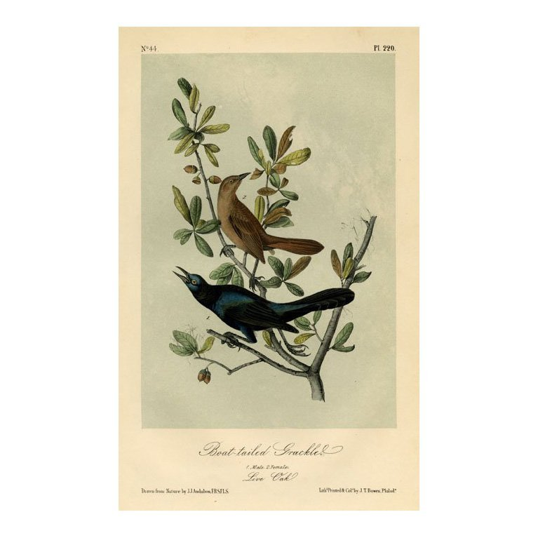 John James Audubon: Boat-tailed Grackle 1871