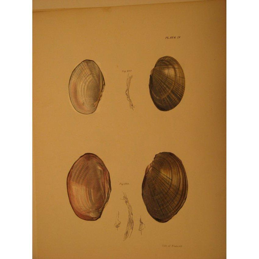 James De Kay: Plate 19 - Shells, 1843