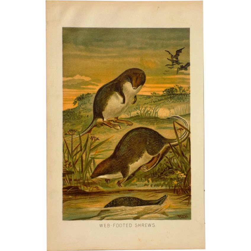 P.J. Smith: Web Footed Shrews 1895