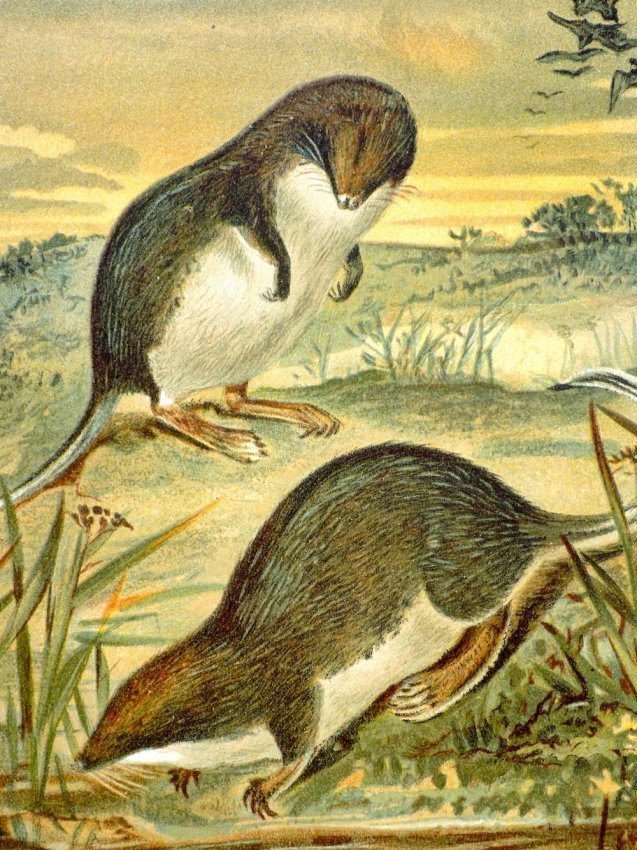 P.J. Smith: Web Footed Shrews 1895 - 2