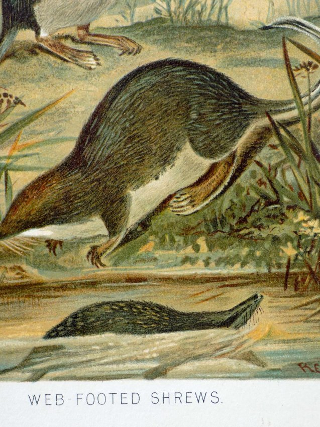 P.J. Smith: Web Footed Shrews 1895 - 4