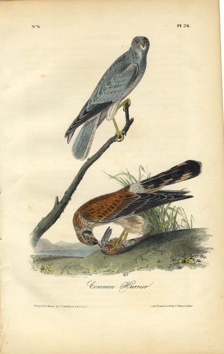 John James Audubon: Common Harrier, 1840