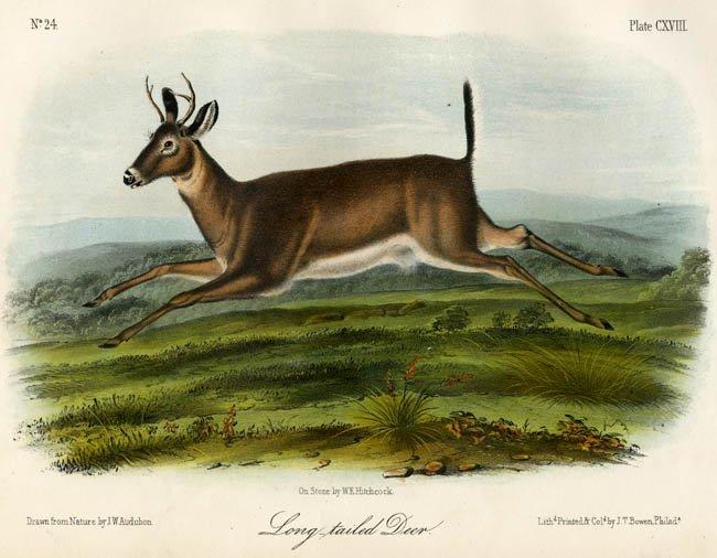 John James Audubon: Long-Tailed Deer, 1851