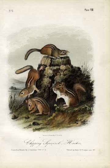 John James Audubon: Chipping Squirrel, Hackee, 1851