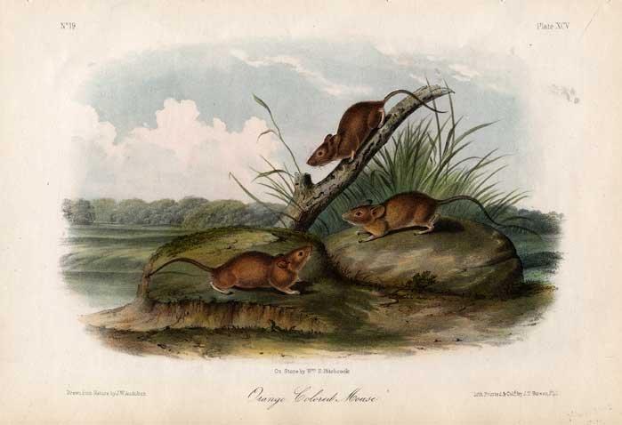 John James Audubon: Orange Colored Mouse, 1845