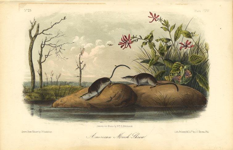 John James Audubon: American Marsh Shrew, 1851