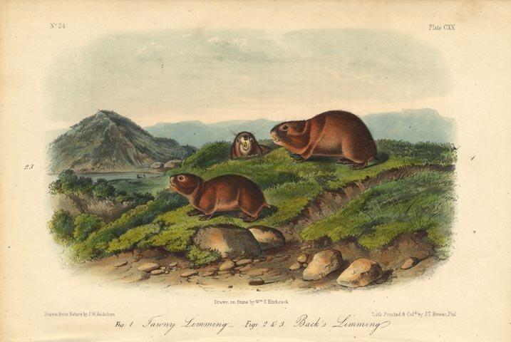 John James Audubon: Tawny Lemming, Black's Lemming 1851