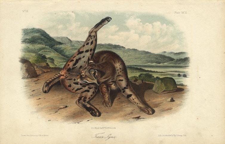 John James Audubon: Texan Lynx, 1842
