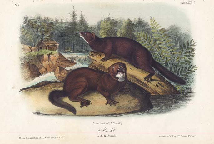 John James Audubon: Mink, 1851