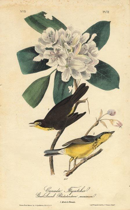 John James Audubon: Canada Flycatcher, 1840