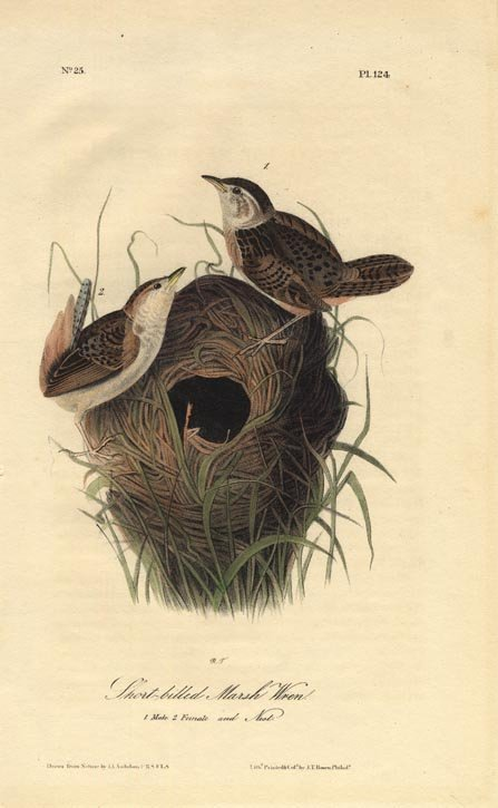 John James Audubon: Short Billed Marsh Wren, 1840