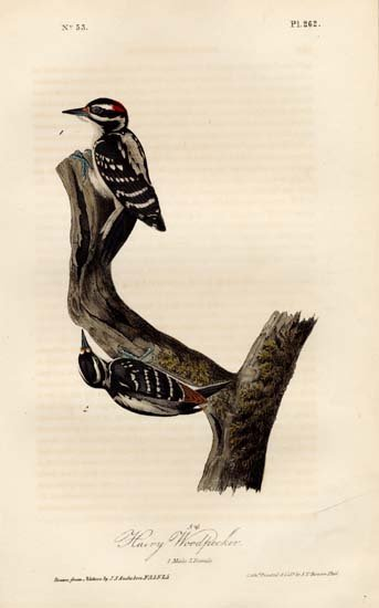 John James Audubon: Hairy Woodpecker, Male and Female