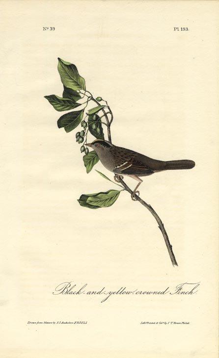 John James Audubon: Black & Yellow Crowned Finch, 1840