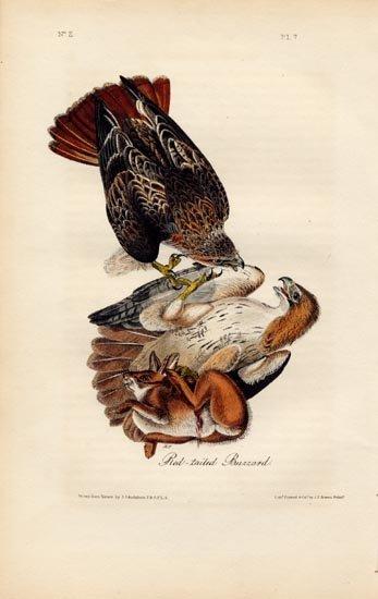 John James Audubon: Red Tailed Buzzard, 1840