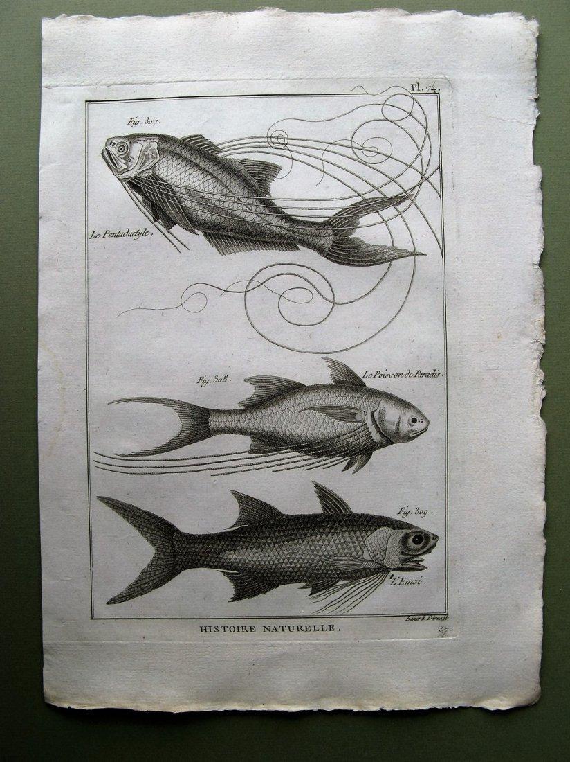 Benard: Le Pentadactyle. Plate 74, 1788