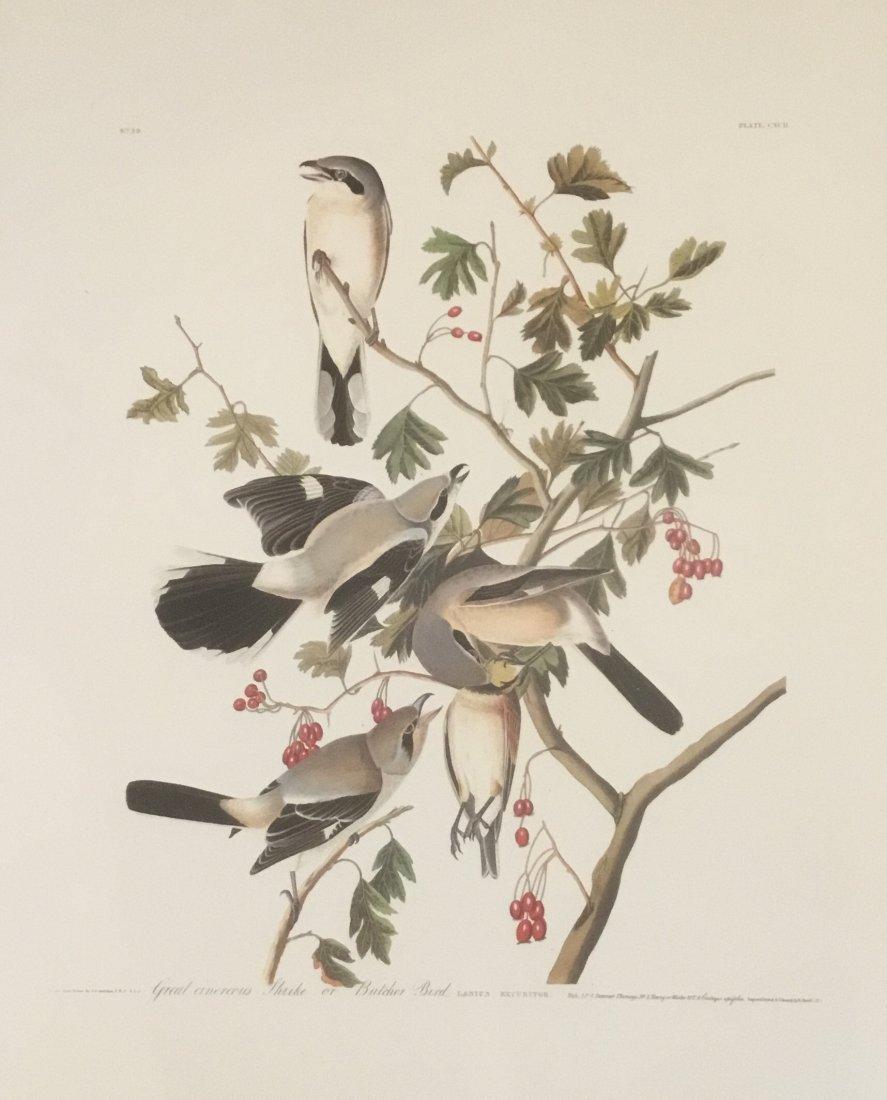 John James Audubon: Great Cinerous Shrike/Butcher Bird