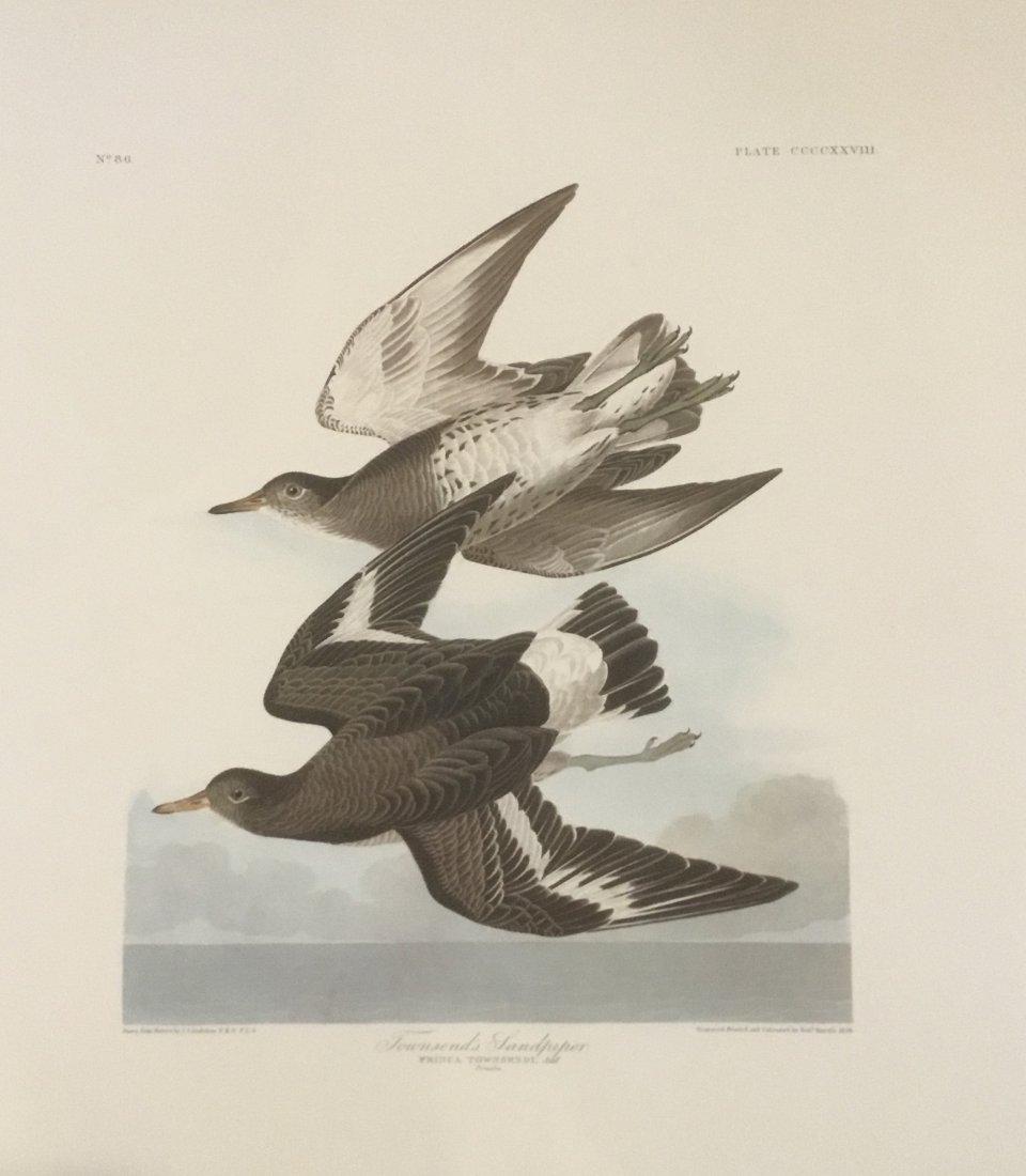 John James Audubon: Townsend's Sandpiper