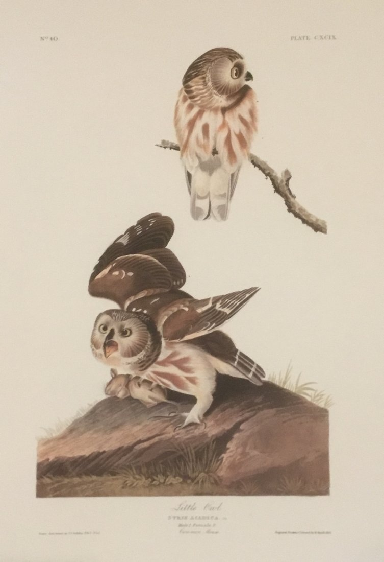 John James Audubon: Little Owl, Plate CXCIX