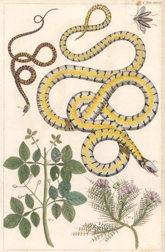Albertus Seba: Garden Snake, Beetle, Flowering Plants