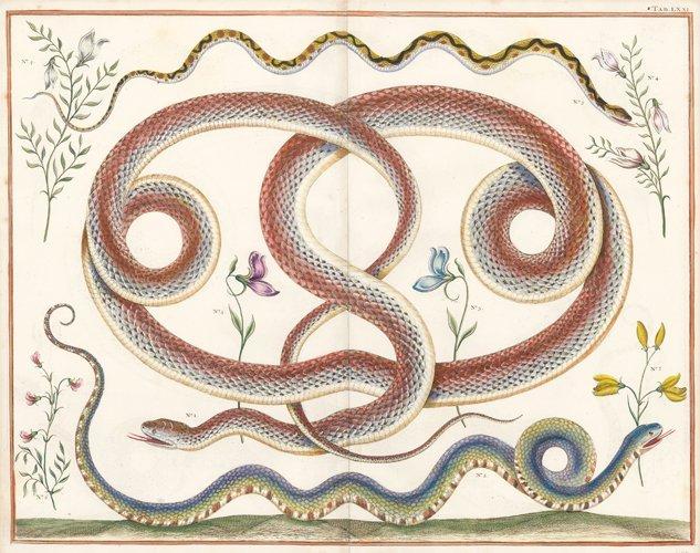 Albertus Seba: Coral Snake, Viper and Others from India