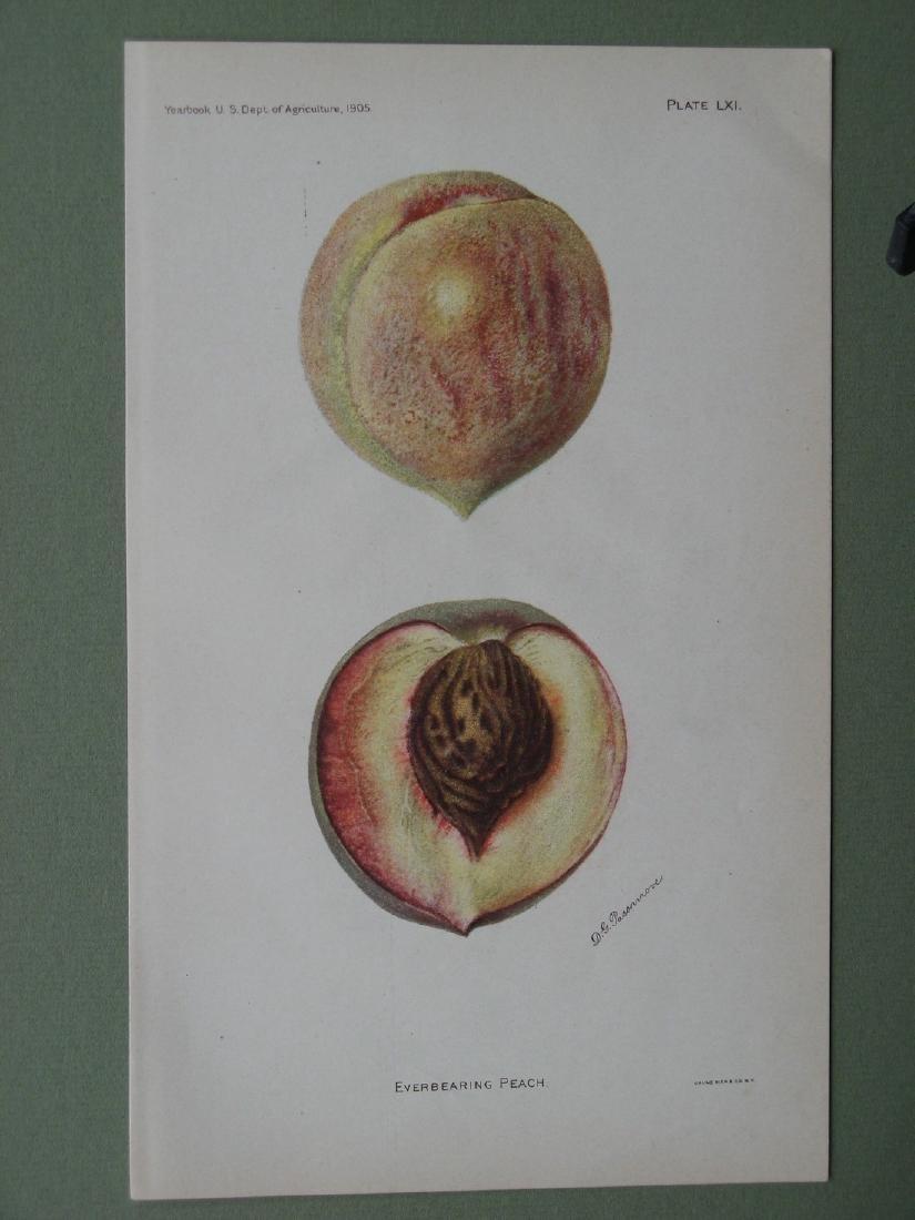 Deborah Passmore: Everbearing Peach, 1905