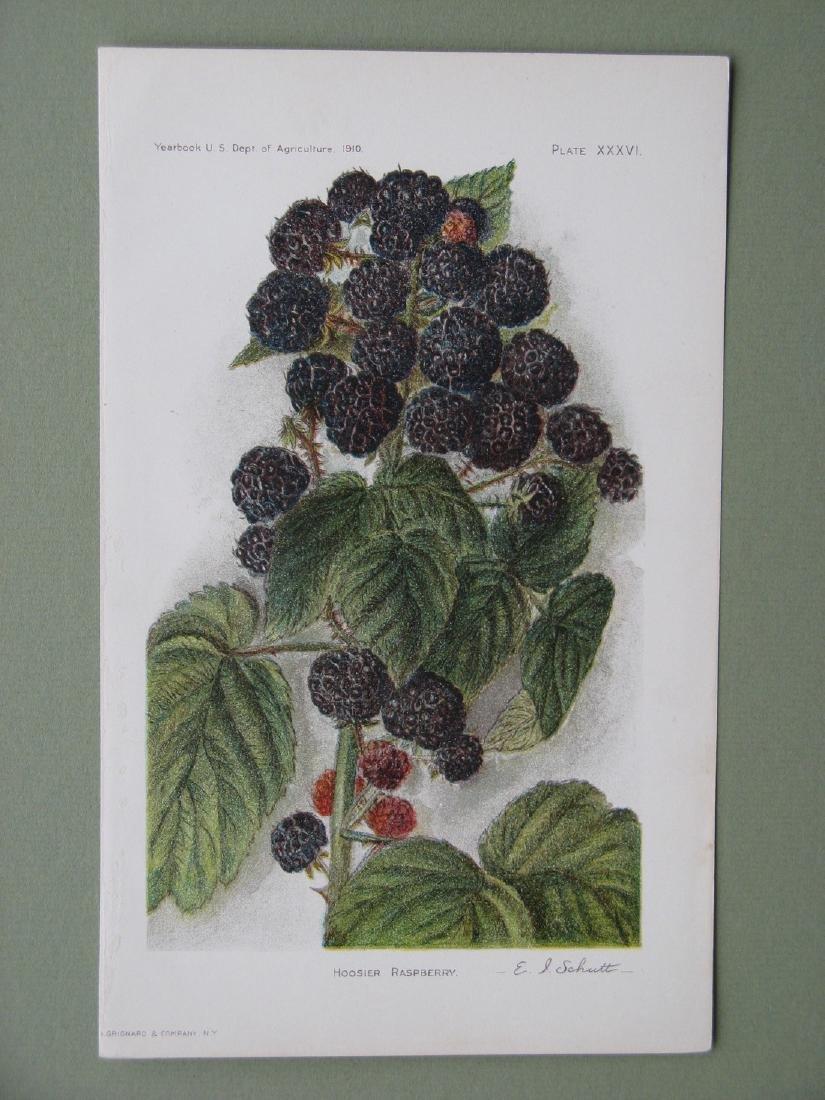 Elaine Schutt:Hoosier Raspberry, 1910