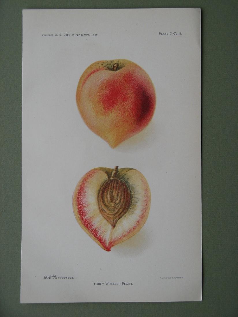 Deborah Passmore: Early Wheeler Peach, 1906