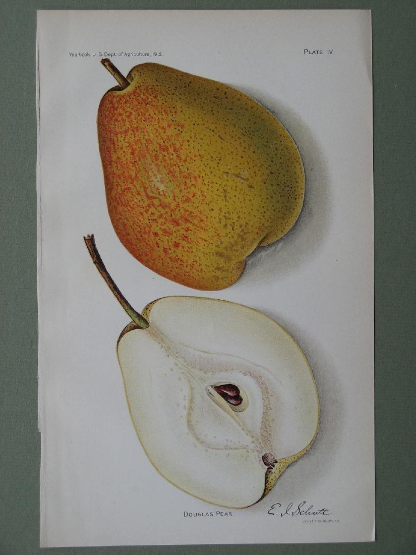 Elaine Schutt:Douglas Pear, 1912