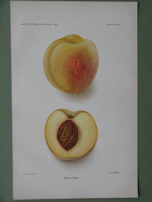 Deborah Passmore: Welch Peach, 1903