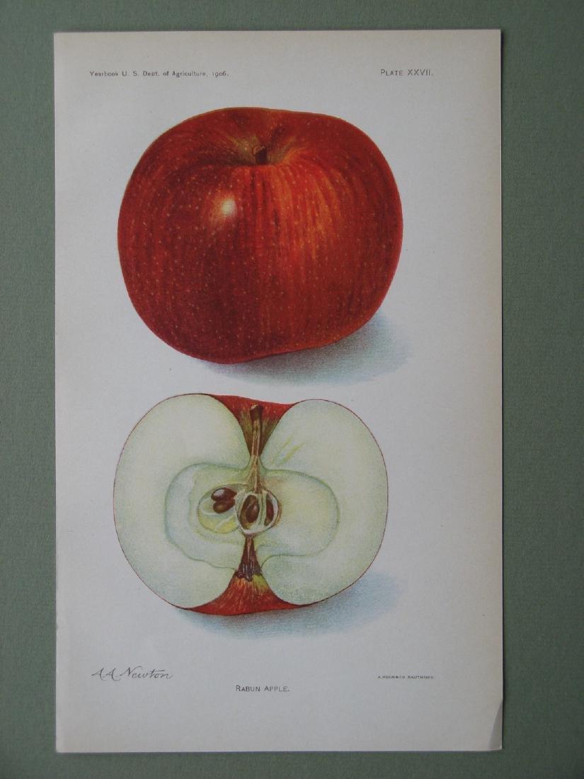 Amanda Newton:Rabun Apple, 1906