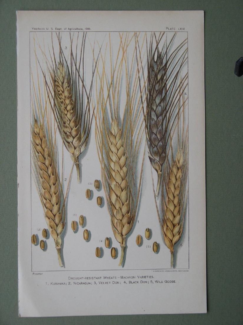 Proctor: Varieties of Wheat, 1900