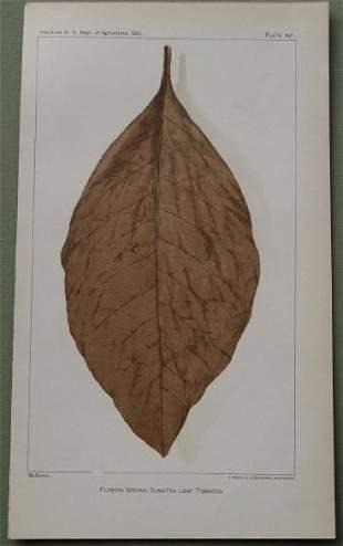 Tobacco Leaf - Florida Grown Sumatra