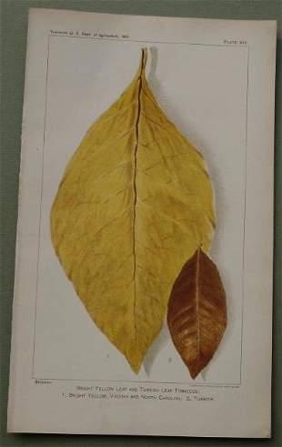 Tobacco Leaf - Bright Yellow & Turkish Grown