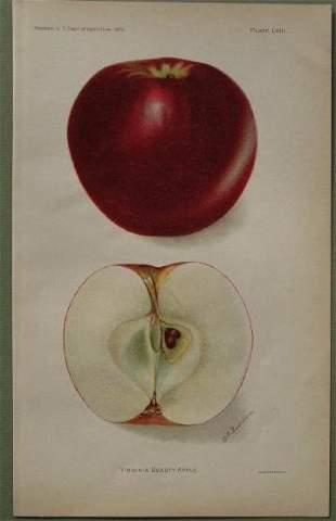 Virginia Beauty Apple