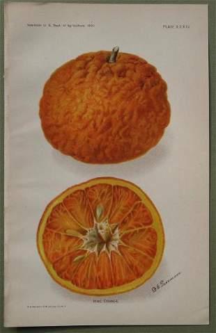 King Orange
