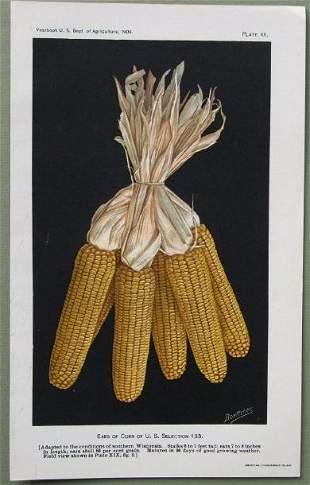 Mixed Breed Ear of Corn