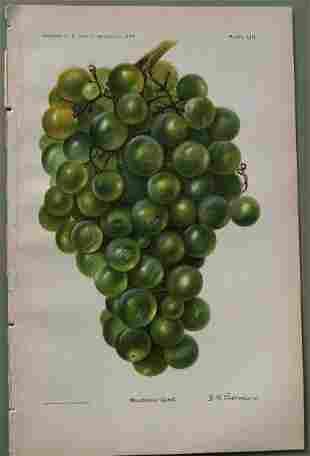 Millenial Grape