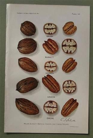 Pecan Varieties