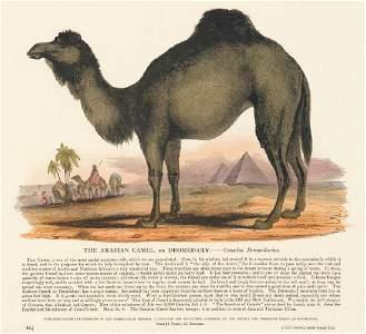 Josiah Wood Whymper: The Arabian Camel