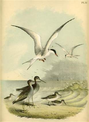 Theodore Jasper: Great Tern, Snipe, Sand-Piper