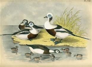 Theodore Jasper: Long Tailed Duck