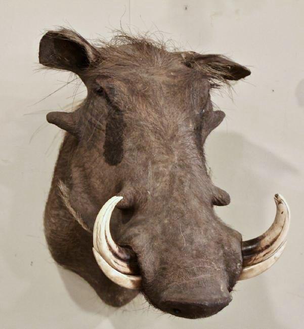 Warthog Taxidermy