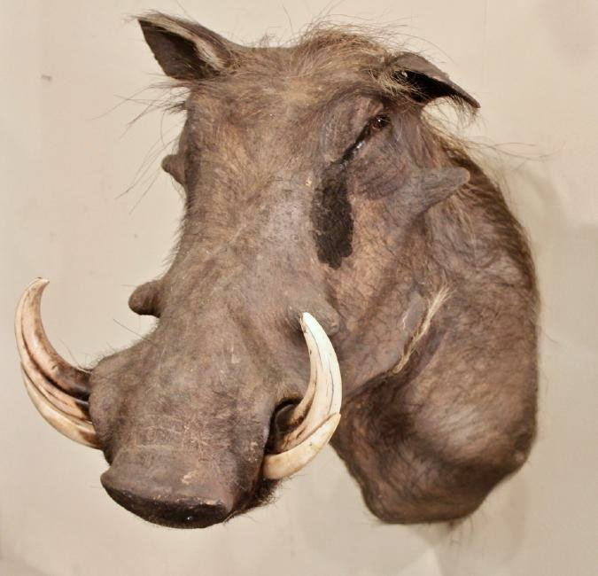 Warthog Taxidermy - 2