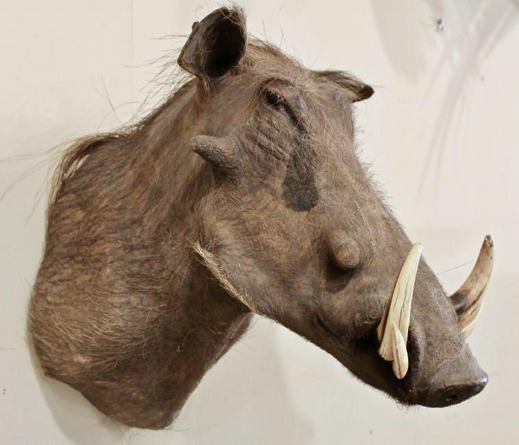 Warthog Taxidermy - 3