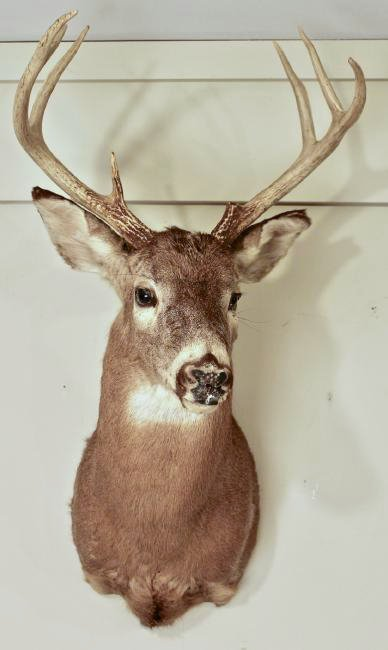 8 Point Buck Deer Head
