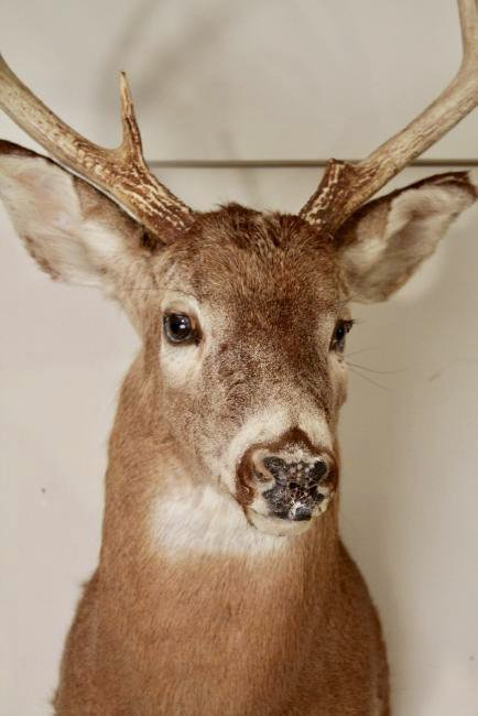 8 Point Buck Deer Head - 2