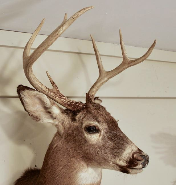 8 Point Buck Deer Head - 4