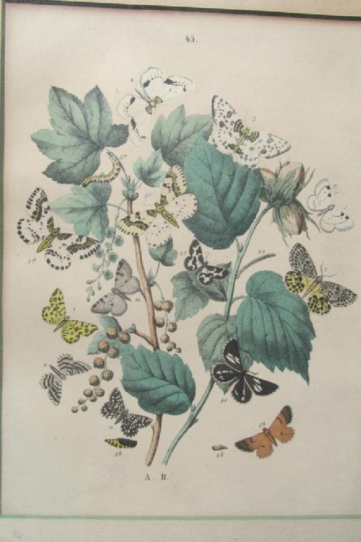 19th Century Hand Colored Butterfly Engraving #45