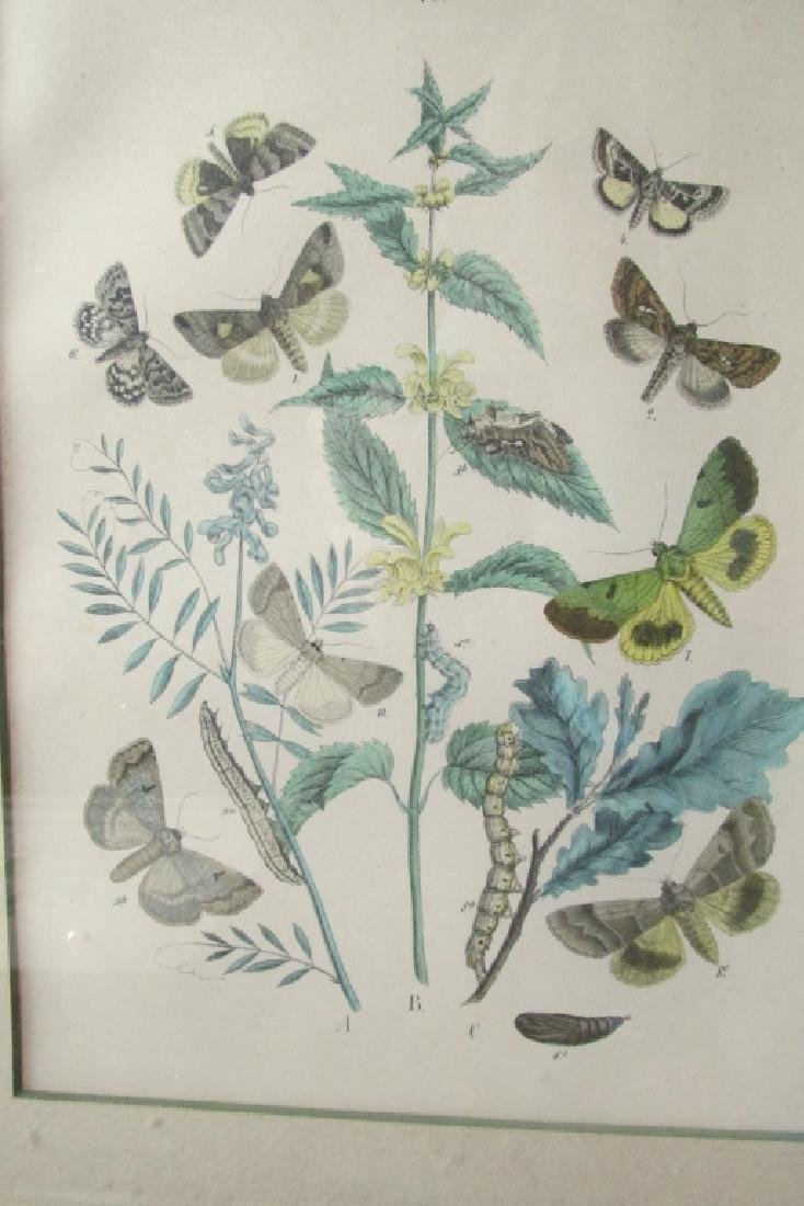 19th Century Hand Colored Butterfly Engraving #40